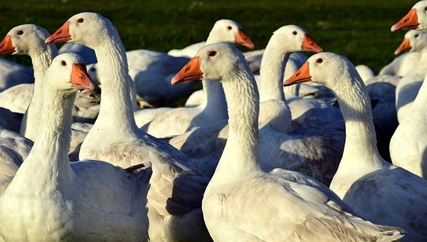 geese-1847919__340